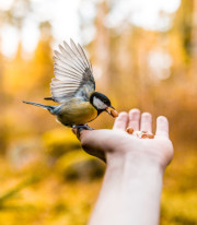 Picture of a hand held out and a small bird eating the bird seeds in the hand.