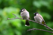 Picture of two neighborhood birds sitting on a branch.