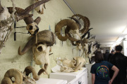 Photo of part of the skeletal collection. In this photo, mostly animals with horns with onlookers.