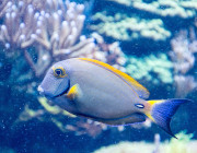 Picture of a blue and yellow fish underwater near a coral.