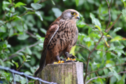 Picture of a falcon on a wooden stump in the woods.