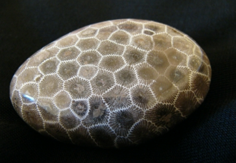 A closeup of a Michigan Petoskey stone.